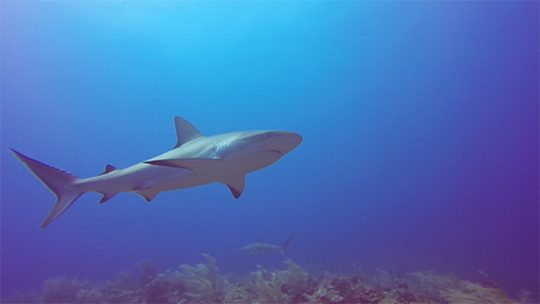 Providencia-reefshark-buceo-diving-caribe