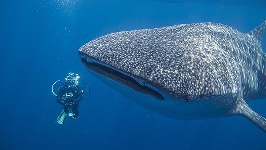 whale-shark-Malpelo-Colombia-plongee